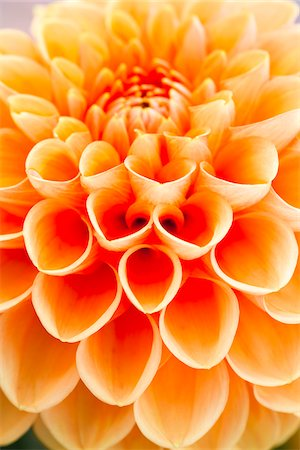 petal - Close-up of Pompom Dahlia Stock Photo - Premium Royalty-Free, Code: 600-05803099