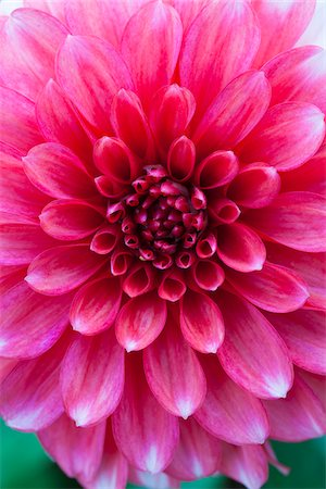petal - Close-up of Dahlia Stock Photo - Premium Royalty-Free, Code: 600-05803101