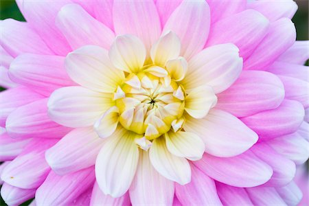 petal - Close-up of Dahlia Stock Photo - Premium Royalty-Free, Code: 600-05803102
