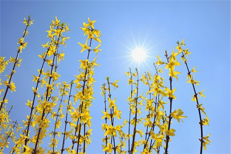 spring flowers - Blooming Forsythia with Sun, Franconia, Bavaria, Germany Stock Photo - Premium Royalty-Free, Code: 600-05803197