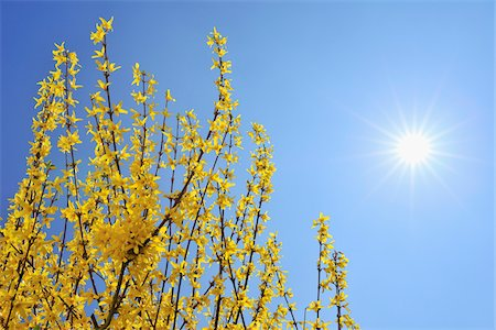 spring flowers - Blooming Forsythia with Sun, Franconia, Bavaria, Germany Stock Photo - Premium Royalty-Free, Code: 600-05803198