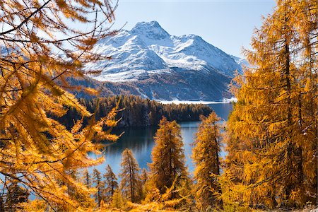 Larch Trees by Lake Sils and Piz de la Margna, Engadin, Switzerland Stock Photo - Premium Royalty-Free, Code: 600-05837568