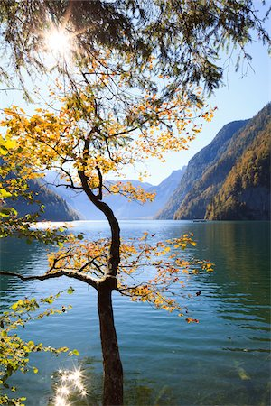 scenic - Beech Tree in Autumn, Lake Koenigssee, Berchtesgadener Land, Bavaria, Germany Stock Photo - Premium Royalty-Free, Code: 600-05837562