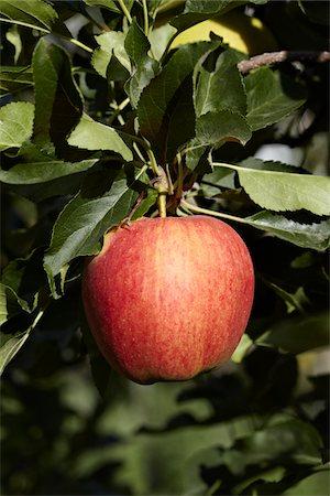 single fruits tree - Red Apple, Cawston, Similkameen Country, British Columbia, Canada Stock Photo - Premium Royalty-Free, Code: 600-05855132
