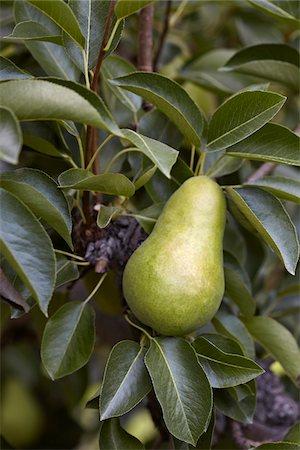 single fruits tree - Bartlett Pear, Cawston, Similkameen Country, British Columbia, Canada Stock Photo - Premium Royalty-Free, Code: 600-05855141