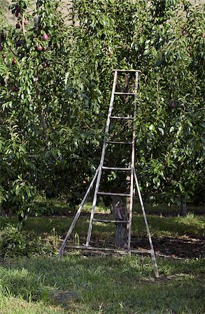 single fruits tree - Orchard Ladder and Pear Trees, Cawston, Similkameen Country, British Columbia, Canada Stock Photo - Premium Royalty-Free, Code: 600-05855155