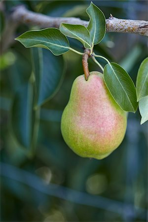 single fruits tree - Bartlett Pear, Cawston, Similkameen Country, British Columbia, Canada Stock Photo - Premium Royalty-Free, Code: 600-05855158