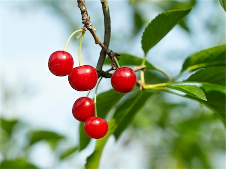 Sour Cherries, Beamsville, Niagara Region, Ontario, Canada Stock Photo - Premium Royalty-Free, Code: 600-05855172