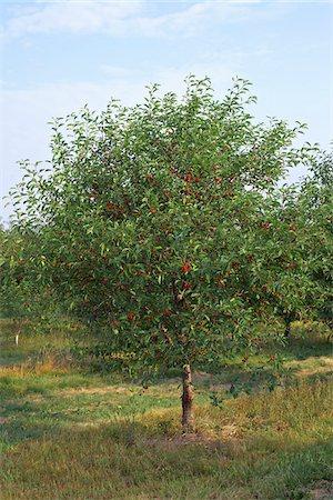 single fruits tree - Sour Cherries, Beamsville, Niagara Region, Ontario, Canada Stock Photo - Premium Royalty-Free, Code: 600-05855180