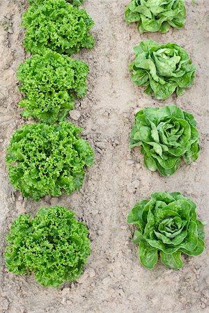 Boston and Leaf Lettuce, Fenwick, Ontario, Canada Stock Photo - Premium Royalty-Free, Code: 600-05855207
