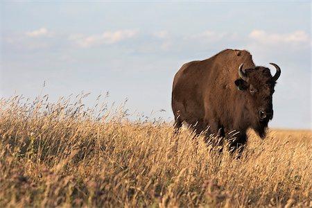 Bison in Field, Tacarsey Bison Ranch, Pincher Creek, Alberta, Canada Stock Photo - Premium Royalty-Free, Code: 600-05855351
