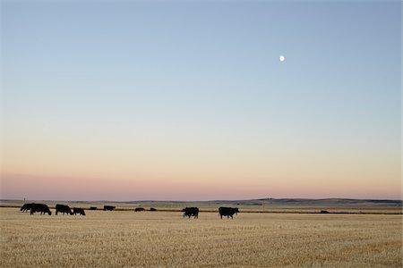 Herd of Cows in Field, Pincher Creek, Alberta, Canada Stock Photo - Premium Royalty-Free, Code: 600-05855362