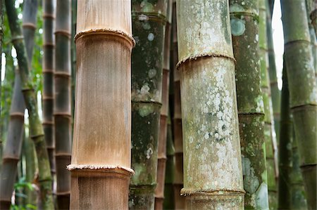 Close-up of Bamboo Trees, Botanical Gardens, Rio de Janeiro, Brazil Stock Photo - Premium Royalty-Free, Code: 600-05947903