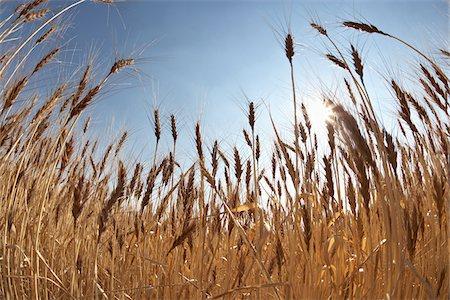 Close-up of Ripened Wheat Stalks in Field against Sunlight, Pincher Creek, Alberta, Canada Stock Photo - Premium Royalty-Free, Code: 600-05973417