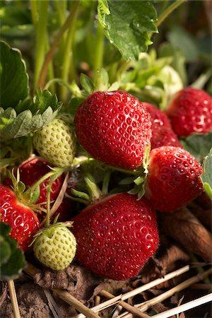 strawberries - Ripe Strawberries, DeVries Farm, Fenwick, Ontario, Canada Stock Photo - Premium Royalty-Free, Code: 600-05973550