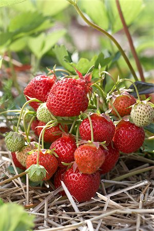 Ripe Strawberries on Plants, DeVries Farm, Fenwick, Ontario, Canada Stock Photo - Premium Royalty-Free, Code: 600-05973561