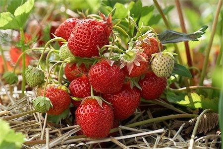 Ripe Strawberries on Plants, DeVries Farm, Fenwick, Ontario, Canada Stock Photo - Premium Royalty-Free, Code: 600-05973562