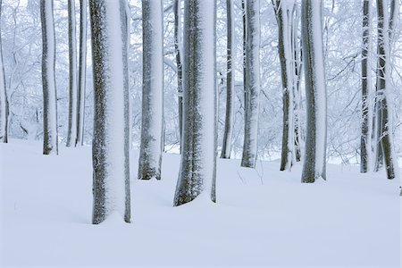 snow covered trees - Snow Covered Tree Trunks in Forest, Rhoen, Rhon Mountains, Hesse, Germany Stock Photo - Premium Royalty-Free, Code: 600-06038314