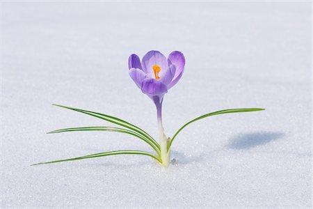 fragile - Spring Crocus in Snow, Franconia, Bavaria, Germany Stock Photo - Premium Royalty-Free, Code: 600-06038318