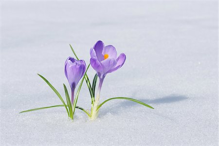spring flowers - Spring Crocuses in Snow, Franconia, Bavaria, Germany Stock Photo - Premium Royalty-Free, Code: 600-06038319