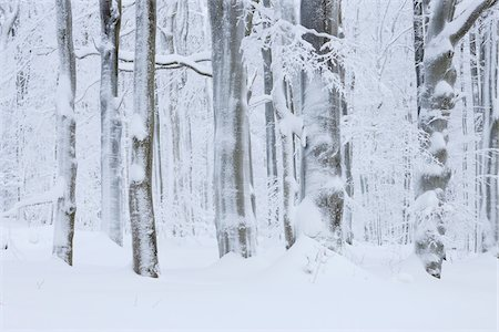 snow covered trees - Snow Covered Tree Trunks in Forest, Rhoen, Rhon Mountains, Hesse, Germany Stock Photo - Premium Royalty-Free, Code: 600-06038312