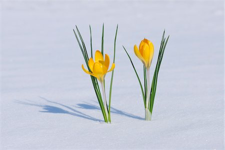spring flowers - Snow Crocuses in Snow, Franconia, Bavaria, Germany Stock Photo - Premium Royalty-Free, Code: 600-06038324