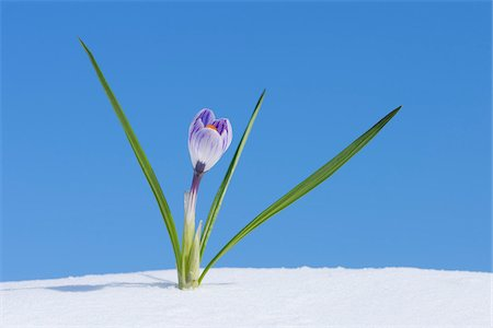 Crocus Vernus in Snow, Franconia, Bavaria, Germany Stock Photo - Premium Royalty-Free, Code: 600-06038333
