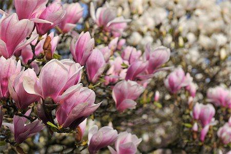 spring background - Magnolia, Aschaffenburg, Bavaria, Germany Stock Photo - Premium Royalty-Free, Code: 600-06119664
