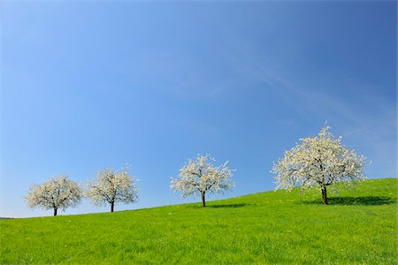 Cherry Trees and Meadow, Baden-Wurttemberg, Germany Stock Photo - Premium Royalty-Free, Code: 600-06119682