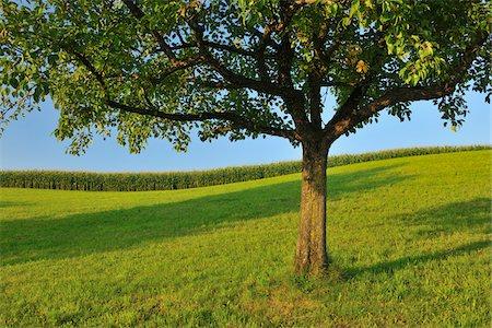 single fruits tree - Apple Tree in Summer, Switzerland Stock Photo - Premium Royalty-Free, Code: 600-06119755