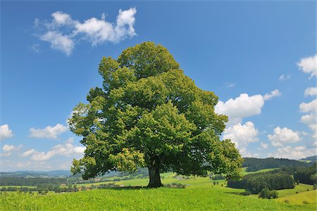 Lime Tree in Summer, Bavaria, Germany Stock Photo - Premium Royalty-Free, Code: 600-06119751