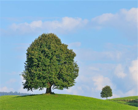 Lime Trees in Summer, Switzerland Stock Photo - Premium Royalty-Free, Code: 600-06119753