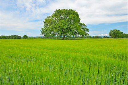 Walnut Tree in Grain Field, Taubergiessen Nature Reserve, Kappel, Rust, Baden-Wurttemberg, Germany Stock Photo - Premium Royalty-Free, Code: 600-06119766