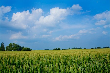 Corn Field, Millville, Indiana, USA Stock Photo - Premium Royalty-Free, Code: 600-06125583