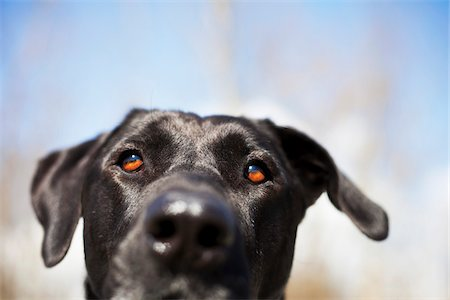 Mixed Breed Labrador Retriever, British Columbia, Canada Stock Photo - Premium Royalty-Free, Code: 600-06125608