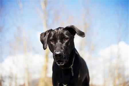 Mixed Breed Labrador Retriever, British Columbia, Canada Stock Photo - Premium Royalty-Free, Code: 600-06125609
