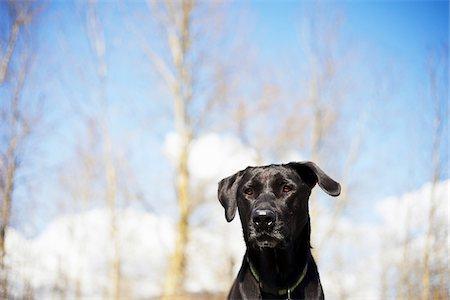 Mixed Breed Labrador Retriever, British Columbia, Canada Stock Photo - Premium Royalty-Free, Code: 600-06125610