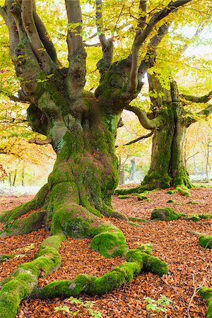 Beech Tree, Kellerwald-Edersee National Park, Hesse, Germany Stock Photo - Premium Royalty-Free, Code: 600-06125729