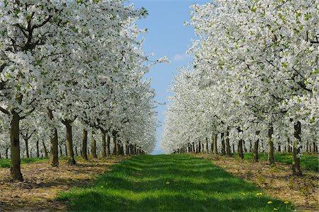 scenic and spring (season) - Cherry Trees, Bavaria, Germany Stock Photo - Premium Royalty-Free, Code: 600-06125866