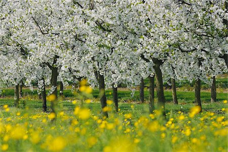 Cherry Trees, Bavaria, Germany Stock Photo - Premium Royalty-Free, Code: 600-06125868