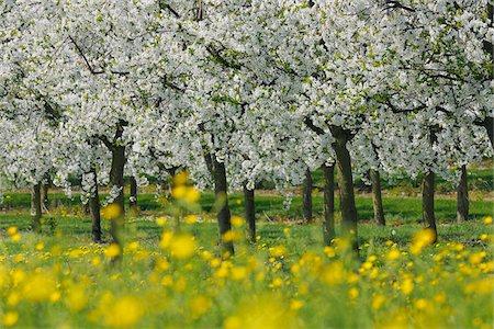 scenic and spring (season) - Cherry Trees, Bavaria, Germany Stock Photo - Premium Royalty-Free, Code: 600-06125868