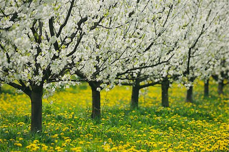 Cherry Trees, Bavaria, Germany Stock Photo - Premium Royalty-Free, Code: 600-06125869