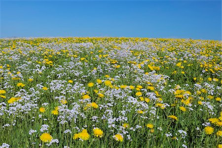 Meadow of Dandelions and Cuckoo Flowers, Bavaria, Germany Fotografie stock - Premium Royalty-Free, Codice: 600-06125875