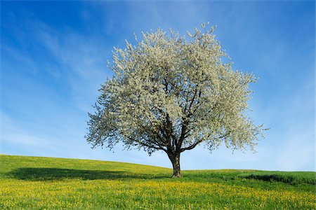 Cherry Tree, Bavaria, Germany Stock Photo - Premium Royalty-Free, Code: 600-06125870