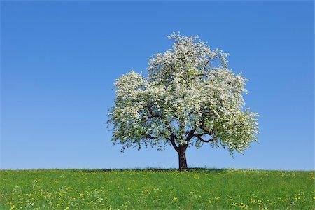 single fruits tree - Pear Tree, Bavaria, Germany Stock Photo - Premium Royalty-Free, Code: 600-06125872