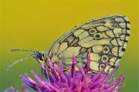 Marbled White Butterfly on Flower, Karlstadt, Franconia, Bavaria, Germany Stock Photo - Premium Royalty-Free, Code: 600-06144855