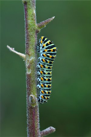 Swallowtail Caterpillar on Dictamnus Stem, Karlstadt, Franconia, Bavaria, Germany Stock Photo - Premium Royalty-Free, Code: 600-06144850