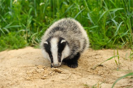 earth no people - Portrait of European Badger, Hesse, Germany Stock Photo - Premium Royalty-Free, Code: 600-06144946