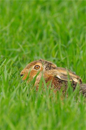 European Brown Hare in Field, Hesse, Germany Stock Photo - Premium Royalty-Free, Code: 600-06144969