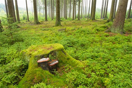 fungus - Tree Stump in Spruce Forest, Odenwald, Hesse, Germany Stock Photo - Premium Royalty-Free, Code: 600-06334262